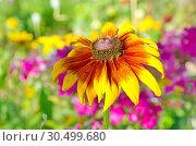 Купить «Цветок рудбекии (лат.Rudbeckiа) в летнем саду крупным планом», эксклюзивное фото № 30499680, снято 8 августа 2018 г. (c) Елена Коромыслова / Фотобанк Лори