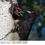 Купить «Black Woodpecker, Черный дятел или Желна», фото № 30500940, снято 19 мая 2013 г. (c) Павел Блашкин / Фотобанк Лори