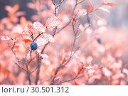 Купить «Заросли дикой голубики в лесу. Карелия. Россия», фото № 30501312, снято 30 сентября 2017 г. (c) Наталья Осипова / Фотобанк Лори