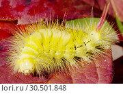 Купить «Гусеница Краснохвост, или шерстолапка стыдливая (Pale Tussock moth caterpillar)», фото № 30501848, снято 20 августа 2013 г. (c) Галина Савина / Фотобанк Лори