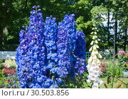 Blooming delphinium in the park. Стоковое фото, фотограф Куликов Константин / Фотобанк Лори
