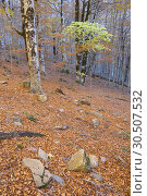 Forest in Ordesa National Park, Pyrenees, Huesca Province, Aragon, Spain. Стоковое фото, фотограф Pedro Salaverría / age Fotostock / Фотобанк Лори