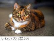 Купить «Portrait of an american shorthair cat.», фото № 30522536, снято 12 октября 2018 г. (c) Акиньшин Владимир / Фотобанк Лори