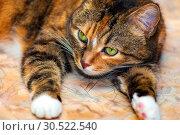 Купить «Portrait of an american shorthair cat lying on its belly.», фото № 30522540, снято 13 октября 2018 г. (c) Акиньшин Владимир / Фотобанк Лори