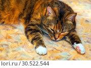 Купить «Portrait of an american shorthair cat lying on its belly.», фото № 30522544, снято 13 октября 2018 г. (c) Акиньшин Владимир / Фотобанк Лори