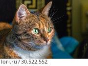 Купить «Portrait of an american shorthair cat.», фото № 30522552, снято 14 октября 2018 г. (c) Акиньшин Владимир / Фотобанк Лори