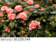 Купить «pink flowers at garden», фото № 30528544, снято 27 марта 2016 г. (c) Syda Productions / Фотобанк Лори