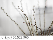 Купить «close up of pussy willow branches indoors», фото № 30528960, снято 22 марта 2018 г. (c) Syda Productions / Фотобанк Лори