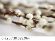 Купить «close up of pussy willow branches on white», фото № 30528964, снято 22 марта 2018 г. (c) Syda Productions / Фотобанк Лори
