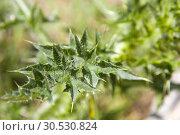 Thorny green plant. Стоковое фото, фотограф Tryapitsyn Sergiy / Фотобанк Лори