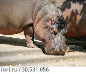 Big hippopotamus (2008 год). Стоковое фото, фотограф Tryapitsyn Sergiy / Фотобанк Лори