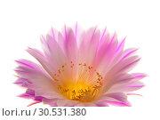 Купить «Cactus flower», фото № 30531380, снято 2 июля 2010 г. (c) Tryapitsyn Sergiy / Фотобанк Лори