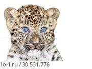 Купить «Leopard cub», фото № 30531776, снято 9 сентября 2010 г. (c) Tryapitsyn Sergiy / Фотобанк Лори