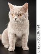 Купить «Little tabby kitten», фото № 30536424, снято 20 февраля 2011 г. (c) Tryapitsyn Sergiy / Фотобанк Лори
