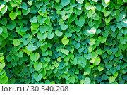 Купить «Ivy covered wall», фото № 30540208, снято 24 июня 2013 г. (c) Tryapitsyn Sergiy / Фотобанк Лори