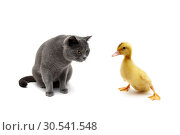 Купить «Cat and duckling isolated on white background», фото № 30541548, снято 19 мая 2014 г. (c) Ласточкин Евгений / Фотобанк Лори