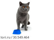 Купить «Gray cat isolated on white background», фото № 30549464, снято 9 августа 2015 г. (c) Ласточкин Евгений / Фотобанк Лори