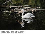 Купить «Кудрявые пеликаны (лат. Pelecanus crispus)», эксклюзивное фото № 30550104, снято 26 сентября 2014 г. (c) lana1501 / Фотобанк Лори