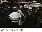 Купить «Кудрявые пеликаны (лат. Pelecanus crispus)», эксклюзивное фото № 30550128, снято 26 сентября 2014 г. (c) lana1501 / Фотобанк Лори