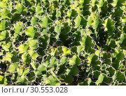 Купить «Cacti background», фото № 30553028, снято 20 июля 2015 г. (c) Tryapitsyn Sergiy / Фотобанк Лори
