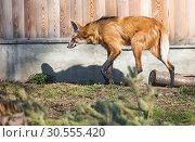 Купить «Гривистый волк (maned wolf)», фото № 30555420, снято 19 октября 2018 г. (c) Галина Савина / Фотобанк Лори