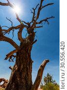 Купить «Bottom view on dry tree.», фото № 30556420, снято 20 июня 2016 г. (c) Tryapitsyn Sergiy / Фотобанк Лори