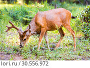 Купить «Deer in pine forest.», фото № 30556972, снято 1 июля 2016 г. (c) Tryapitsyn Sergiy / Фотобанк Лори