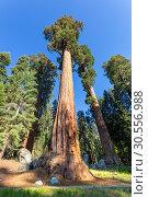 Купить «Giant Sequoia redwood trees with blue sky», фото № 30556988, снято 1 июля 2016 г. (c) Tryapitsyn Sergiy / Фотобанк Лори