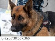 Купить «Крупным планом полицейская собака во время работы на публичной акции», фото № 30557360, снято 12 апреля 2019 г. (c) Николай Винокуров / Фотобанк Лори