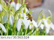 Купить «Пчела на подснежнике Воронова (лат.Galanthus woronowii)», фото № 30563024, снято 11 апреля 2019 г. (c) Елена Коромыслова / Фотобанк Лори