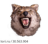 Купить «Wolf head with angry face on white background», фото № 30563904, снято 3 декабря 2016 г. (c) Tryapitsyn Sergiy / Фотобанк Лори