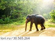 Купить «Ceylon wild elephant in tropical jungle», фото № 30565264, снято 22 февраля 2017 г. (c) Tryapitsyn Sergiy / Фотобанк Лори