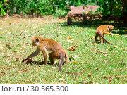 Купить «Monkeys looking for food, tropical fauna on Ceylon», фото № 30565300, снято 22 февраля 2017 г. (c) Tryapitsyn Sergiy / Фотобанк Лори