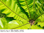 Купить «Peradeniya flower, Ceylon tropical flora closeup», фото № 30565316, снято 22 февраля 2017 г. (c) Tryapitsyn Sergiy / Фотобанк Лори