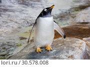 Субантарктический пингвин, или папуанский пингвин. Gentoo penguin. Стоковое фото, фотограф Галина Савина / Фотобанк Лори