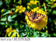 Купить «Бабочка крапивница (лат. Aglais urticae, Nymphalis urticae) сидит на жёлтом цветке бархатца  ранней осенью солнечным днём. Россия.», фото № 30579828, снято 13 сентября 2018 г. (c) Владимир Устенко / Фотобанк Лори