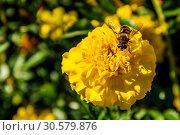 Купить «Пчела собирает нектар на жёлтом цветке бархатца ярким солнечным днём. Подмосковье, Россия.», фото № 30579876, снято 13 сентября 2018 г. (c) Устенко Владимир Александрович / Фотобанк Лори