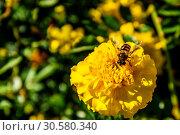 Купить «Пчела собирает нектар на жёлтом цветке бархатца ярким солнечным днём. Подмосковье, Россия», фото № 30580340, снято 13 сентября 2018 г. (c) Устенко Владимир Александрович / Фотобанк Лори
