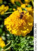 Купить «Медоносная пчела собирает нектар на жёлтом цветке бархатца ярким солнечным днём. Подмосковье, Россия», фото № 30580344, снято 13 сентября 2018 г. (c) Устенко Владимир Александрович / Фотобанк Лори
