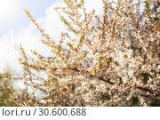 Купить «Spring natural background. Branches of beautiful blossoming almond in the sunlight», фото № 30600688, снято 11 мая 2015 г. (c) Юлия Бабкина / Фотобанк Лори