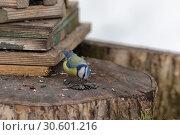 Купить «Blue tit eat sunflower seeds», фото № 30601216, снято 29 марта 2019 г. (c) Argument / Фотобанк Лори