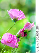 Купить «Розовые цветы космеи (cosmos)», фото № 30601304, снято 17 сентября 2018 г. (c) Татьяна Белова / Фотобанк Лори