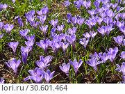 Field of Crocus vernus (Spring Crocus, Giant Crocus) in Early spring. Стоковое фото, фотограф Валерия Попова / Фотобанк Лори