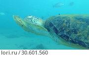 Купить «Sea turtle swims in blue water and eats a piece of seaweed. Green Sea Turtle - Chelonia mydas, Indian Ocean, Hikkaduwa, Sri Lanka», видеоролик № 30601560, снято 10 апреля 2019 г. (c) Некрасов Андрей / Фотобанк Лори
