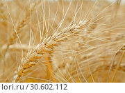 Closeup of wheat ears in summer time. Стоковое фото, фотограф Анфимов Леонид / Фотобанк Лори