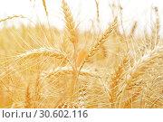 Yellow ears of wheat in closeup field. Стоковое фото, фотограф Анфимов Леонид / Фотобанк Лори
