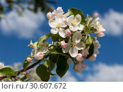 Купить «Apple tree branch with flowers and buds against a blue sky», фото № 30607672, снято 12 мая 2018 г. (c) Наталья Волкова / Фотобанк Лори