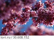 Купить «Цветение вишни», фото № 30608152, снято 13 апреля 2019 г. (c) Ed_Z / Фотобанк Лори