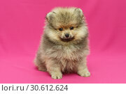 Купить «Small and shaggy Pomeranian puppy», фото № 30612624, снято 10 апреля 2019 г. (c) Okssi / Фотобанк Лори