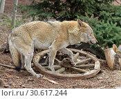 Купить «Eurasian Wolf (Canis lupus), male, near wooden cartwheel», фото № 30617244, снято 20 апреля 2019 г. (c) Валерия Попова / Фотобанк Лори